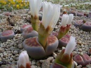 50 Samen lebende Steine MIX , Lithops MIX