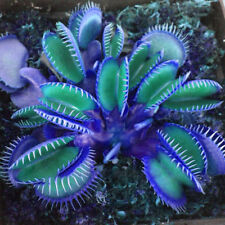 Egrow 100 PCS Garden Potted Blue Insectivorous Plant Seeds Rare Dionaea Muscipu