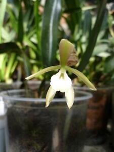 Orchid seed TRICHOPILIA JUNINENSIS