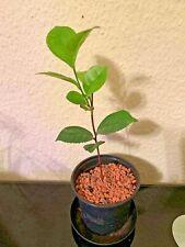 VERDE/tè nero, vero tè, Camellia Sinensis, teepflanze, 18 cm