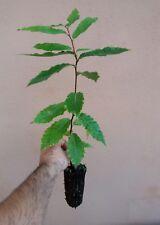 Castanea sativa, Castagno, pianta singola, 1 anno, prebonsai bonsai e giardino