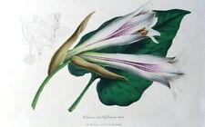 LILY, LILIUM CORDIFOLIUM, Van Houtte, Antique Botanical Flower Print c1850