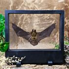 G82 (TP) Taxidermy Oddities Curiosity real Bat Floating Frame decor Collectible
