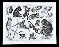 1874 Bilder Zoology Print - Primates Apes Monkeys Baboon Chimpanzee Animals