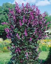 Hyacinth beans *Dolichos lablab* Flower Seeds from Ukraine