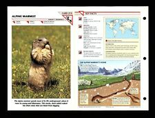 Alpine Marmot Wildlife Fact File Mammal Animal Card Home School Study 1.213