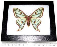 REAL FRAMED GREEN SPANISH MOON MOTH GRAELLSIA ISABELLAE FEMALE