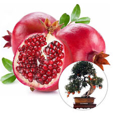 20pcs/lot,bonsai pomegranate seeds very sweet Delicious fruit,succulents Tree
