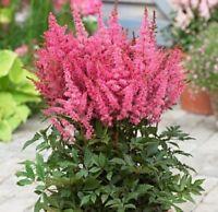 50 Bright Pink Astilbe Seeds Bunter Shade Perennial Garden Flower Chinensis 724