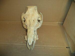 "Wild Boar Hog Skull --Real--Large   15"" face Taxidermy/Decor/Oddities"