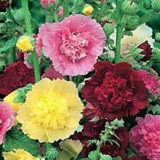 Hollyhock-Carnival Mix- 50 Seeds