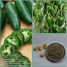 15 JALAPENO CHILLI SEEDS(Capsicum annuum); High yielding variety