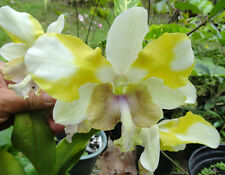 Rare orchid hybrid seedling plant - Dendrobium Nopporn Starbright