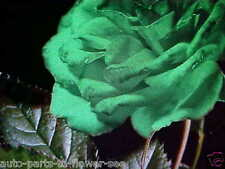 LARGE LIME GREEN IRELAND ROSE FLOWER SEEDS  This is a  U.S.A. TEXAS SHIPPED item