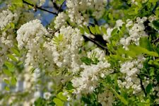 Black Locust, Yellow Locust, False Acacia (Robinia pseudoacacia) 100 seeds