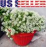 """2000+ White Sweet Alyssum """"Carpet of Snow"""" Seeds Flower Fragrant Like Honey USA"""
