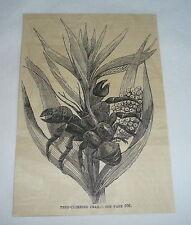 1877 magazine engraving ~ Tree-Climbing Crab