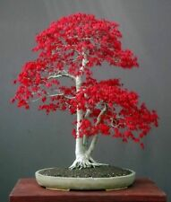 Acer palmatum (Japanese Maple Small Leaf) 25 Fresh seeds - Perfect as a bonsai