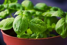 SWEET BASIL 100+ seeds culinary herb garden common garden basil EASY TO GROW
