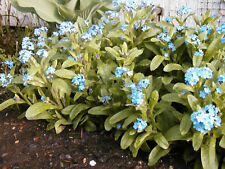 forget-me-not PERENNIAL MYOSOTIS, blue flower, 800 SEEDS! Groco