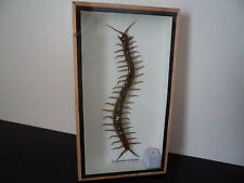 Real Giant Centipede Boxed Display Taxidermy Entomology Zoology