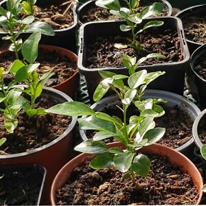 1 X Kaffir Lime Plant, Very Healthy and Well Established in a 10cm pot