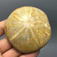 12 - Schön Selten Seeigel Sea Urchin Fossile Kreidezeit (Madagaskar)