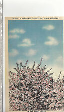 A Beautiful Display of Peach Blossoms  Sunny South   Unused Linen Postcard 12024