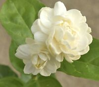Jasmine 'Grand Duke of Tuscany' ~ Jasminum Sambac, Arabian ~ Live Starter Plant
