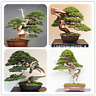 50 PCS Seeds Juniper Bonsai Tree Potted Office Purify Home Garden Free Shipping