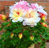 100 PCS Seeds Geranium Garden Blossom Rosebud Pelargonium Perennial Flowers New