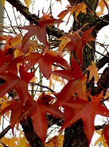 Liquidambar styraciflua, amerikanischer Amberbaum 120-130cm