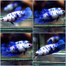 Live Betta Fish Fancy BLUE MARBLE Halfmoon Plakat HMPK Female C477