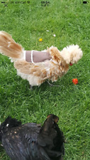 Chicken Poultry Saddle Hen FLEECE LINED XS,S,M,L,XL WATERPROOF POULET, HÄHNCHEN