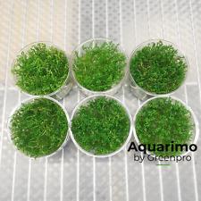 Myriophyllum Matogrossense Tissue Culture 6 Cup Live Aquarium Plant Decoration