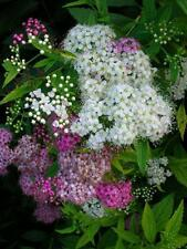 SPIRAEA SHIROBANA Unusual SHRUB Hardy Pink White Flowering Good for BEES 4L Pot