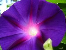 100 PURPLE MORNING GLORY Imopea Nil Flower Vine Seeds + Gift & Comb S/H