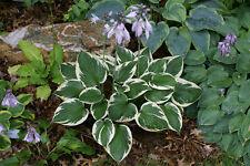 Minuteman Hosta Sport of Francee Liliacea Heavy Perennial 1 Quart Pot - 1 Plant