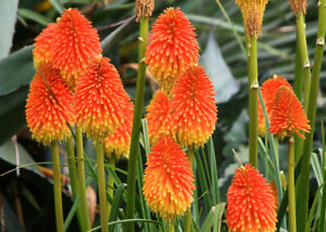 3 Red Hot Poker Kniphofia rooperi plug plants, stunning cottage garden plant