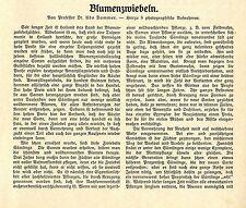 Prof. Udo Dammer fiori cipolla-allevamento in Olanda testo - & 8 documenti immagine v.1909