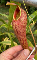 Nepenthes thorellii x aristolochoides. Rooted Cutting. Male