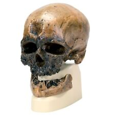 Enmarcado impresión-Homo Sapiens cráneo (Antropología animal humano Imagen Arte Mono)
