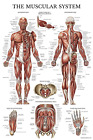 Muscular System Anatomical Poster - Laminated - Muscle Anatomy Chart - Double...