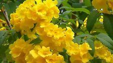 3 yr Pre Bonsai Yellow Bells Bush Yellow Elder Trumpet Flower Tecoma Stans Rare