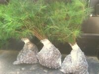 10 Smokie mountain White pine Starter trees 30inch tall transplant seedling #HSE