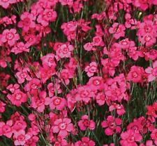 DIANTHUS - Brilliancy  * Perennial*  30 Seeds