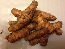 15 pcs RARE FRESH LIVE TURMERIC Roots Rhizomes GROW plants Herb -  US SELLER