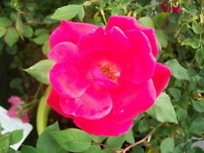 Red Knock Out® Rose Bush EarthKind Large 3 Gal. Shrub Plants Plant Roses Gardens