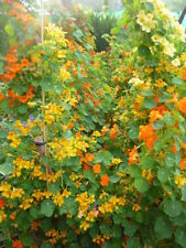 Flower, Nasturtium Tall Single Mix 35 Seeds Half Hardy  Annual .FREE SHIPPING