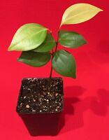 CEYLON CINNAMON Cinnamomum zeylanicum Starter Tree Potted Plant Spice Tea